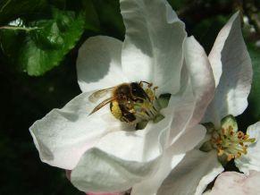 Apfelbüte-Biene