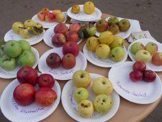 Apfelsortenbestimmung