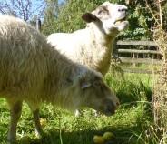 Schafe-auf-der-Streuobstwiese